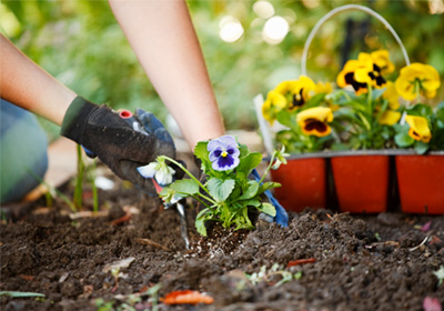 planting-pansies-in-garden