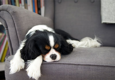 dog asleep in arm chair