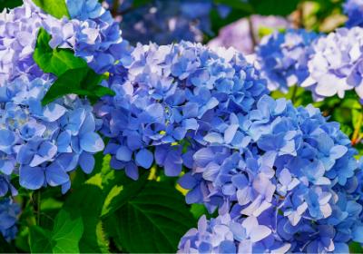 blue hydrangea garden
